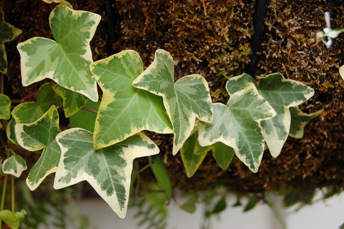 Edera Pianta Da Interno le piante officinali amiche della pelle: edera